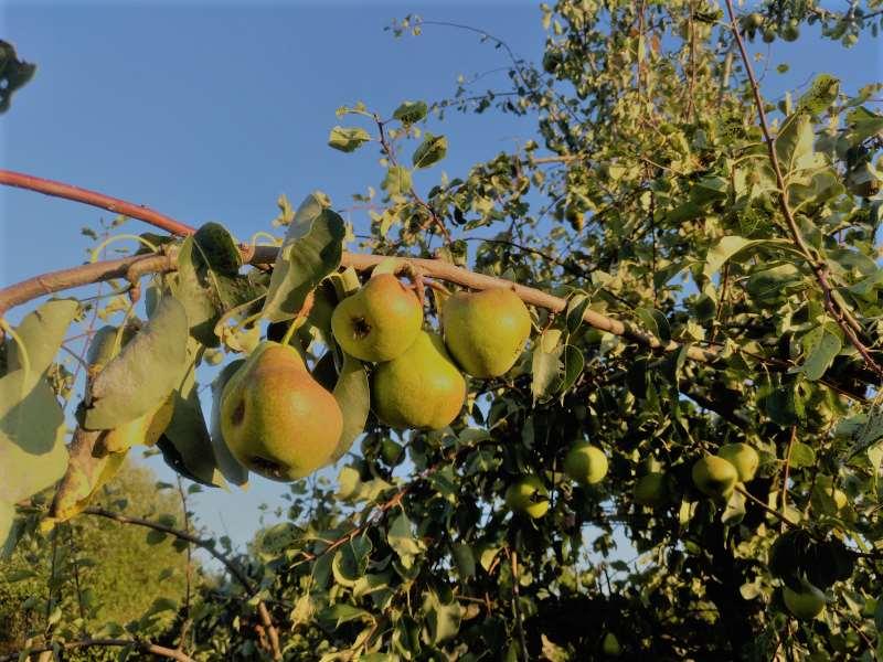 Ausschüttende ETFs sind wie Obstbäume. Man sieht wie die Ausschüttungen wachsen. Das ist ein Vorteil gegenüber thesaurierenden ETFs